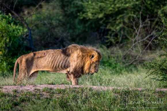 【RT600UP】 天命を全うし、自然に帰っていく。年老いてやせこけた一頭のオスライオンが最期を迎える時 https://t.co/y4oxsseN0j