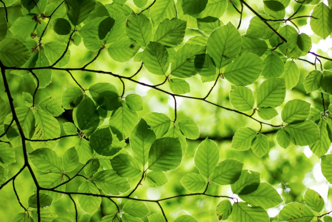the green leaves bleak