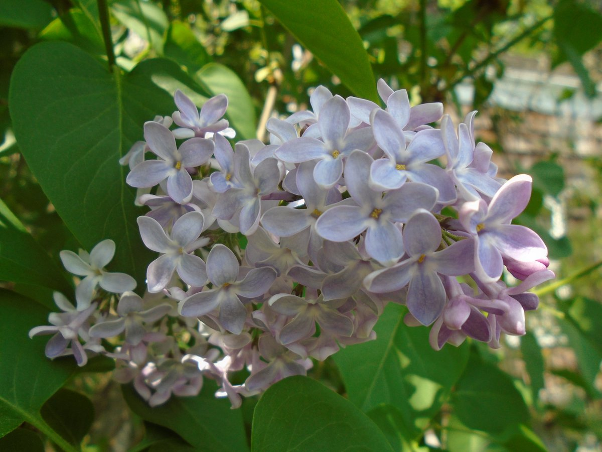Walt Whitman Birthplace On Twitter The Famed Lilacs From Walts