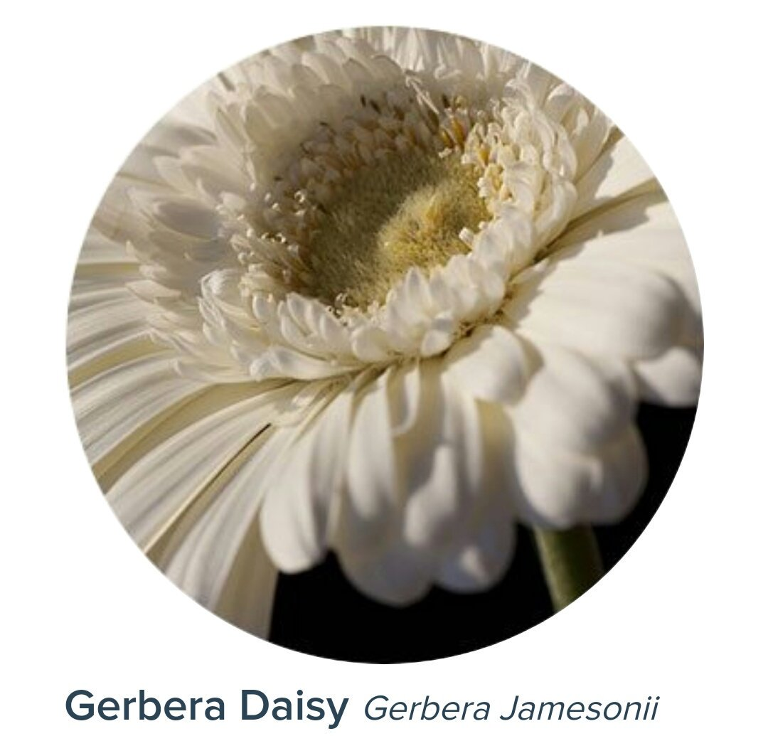 on twitter seokjin holds a single flower called gerbera the flower has varies of colors and meaning white daisy means innocence purity and childlike just like taehyungs white mask on singularity izmirmasajfo