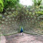 家族連れには優しいw姫路セントラルパークの孔雀は道の真ん中で検問する!