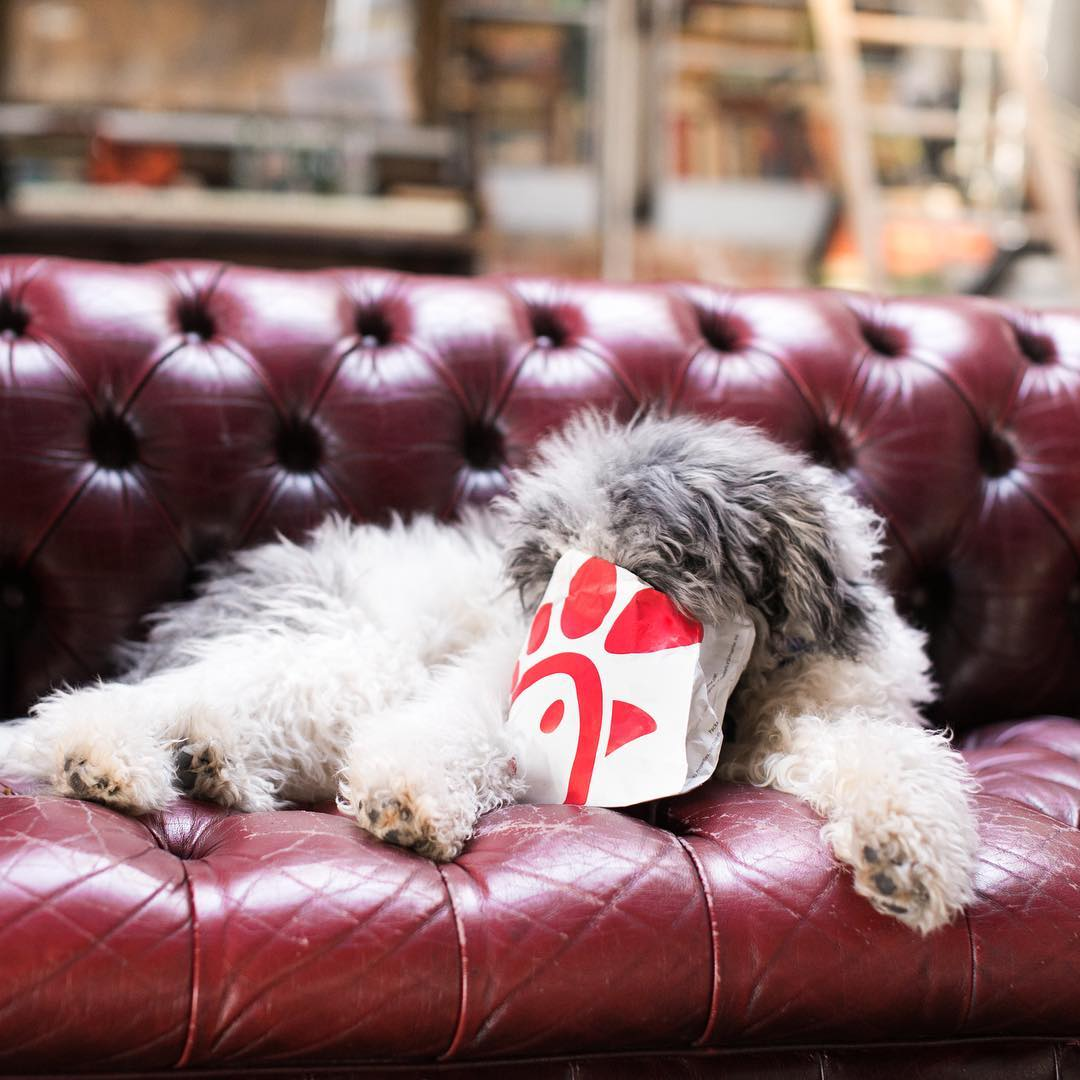 Warning: Dogs will eat your #ChickfilA if left unattended. 🐶 https://t.co/JgHRbHcjyy