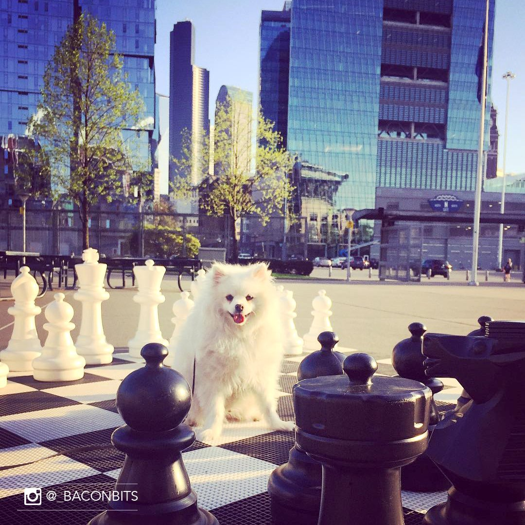 "Teddy, the Eskie: ""Can you take my pic right here? Just make it look natural."" #checkmate #therealking @EmbassySeattle"
