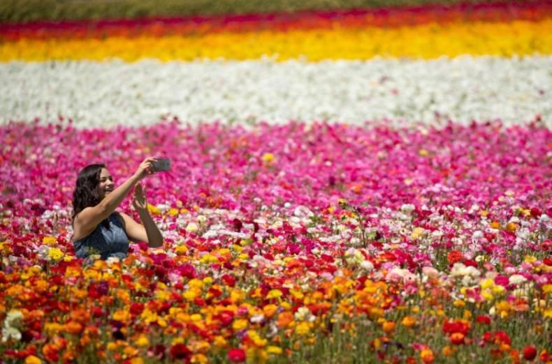The flower fields theflowerfields twitter 0 replies 2 retweets 2 likes mightylinksfo