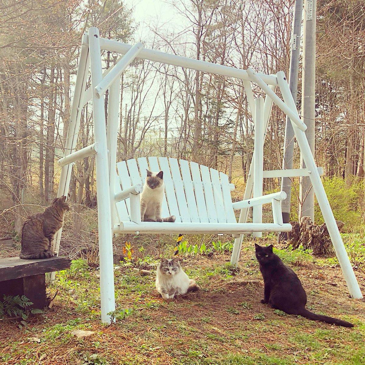 お庭の桜も咲きはじめました。その下のベンチでお花見猫集会。