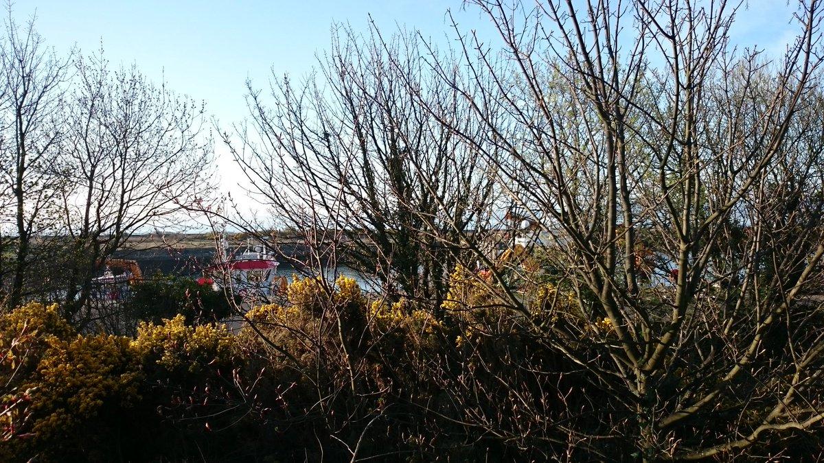 #blackcap singing @ #Burntisland #station this morning. Also #herringgull #gull courtship, reuniting their bond after winter apart. #biodiversity #stationbiodiversity #ScotlandByRail #BirdingByRail @ScotRail @networkrail @BTO_Scotland @ScottishBirding @Natures_Voice @RSPBScotland<br>http://pic.twitter.com/c4IDXNgiz6