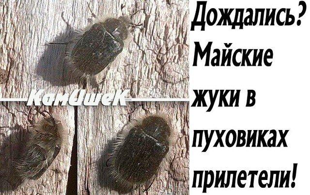 майские жуки в пуховиках картинки затерянной мифической