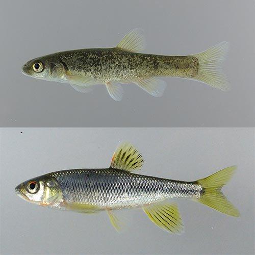 """オイカワマル on Twitter: """"魚の..."""