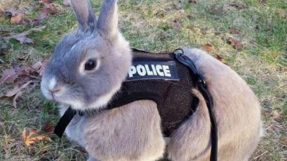 Conejo policía, a ver esa zanahoria