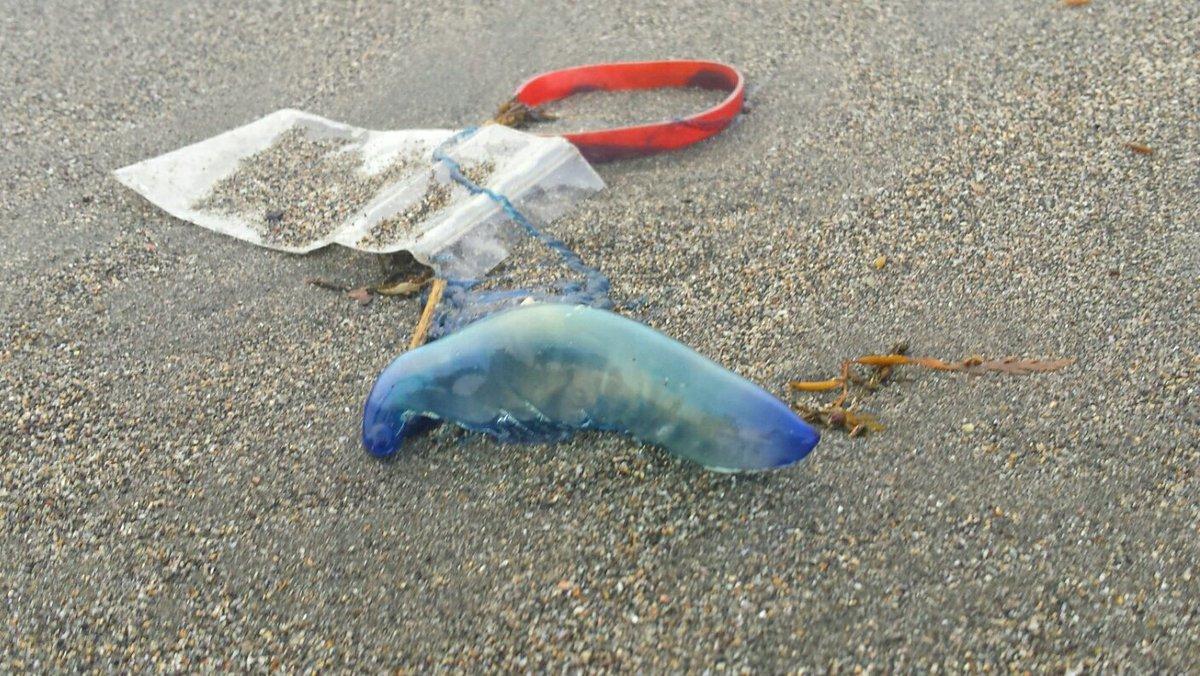 由比ヶ浜海岸にカツオノエボシ 大量発生💦 10分歩いて10匹以上見つけました。 猛毒のクラゲなので綺麗でも触らないでください! #由比ヶ浜 #カツオノエボシ #触らないで