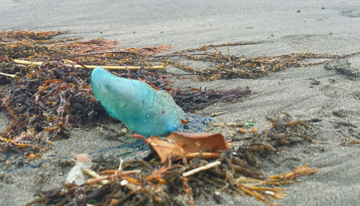 触れるとビリビリ!猛毒持ちの危険なクラゲ「カツオノエボシ」が大量発生中!