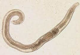 Enterobius vermicularis irányelvek. Tartalomjegyzék