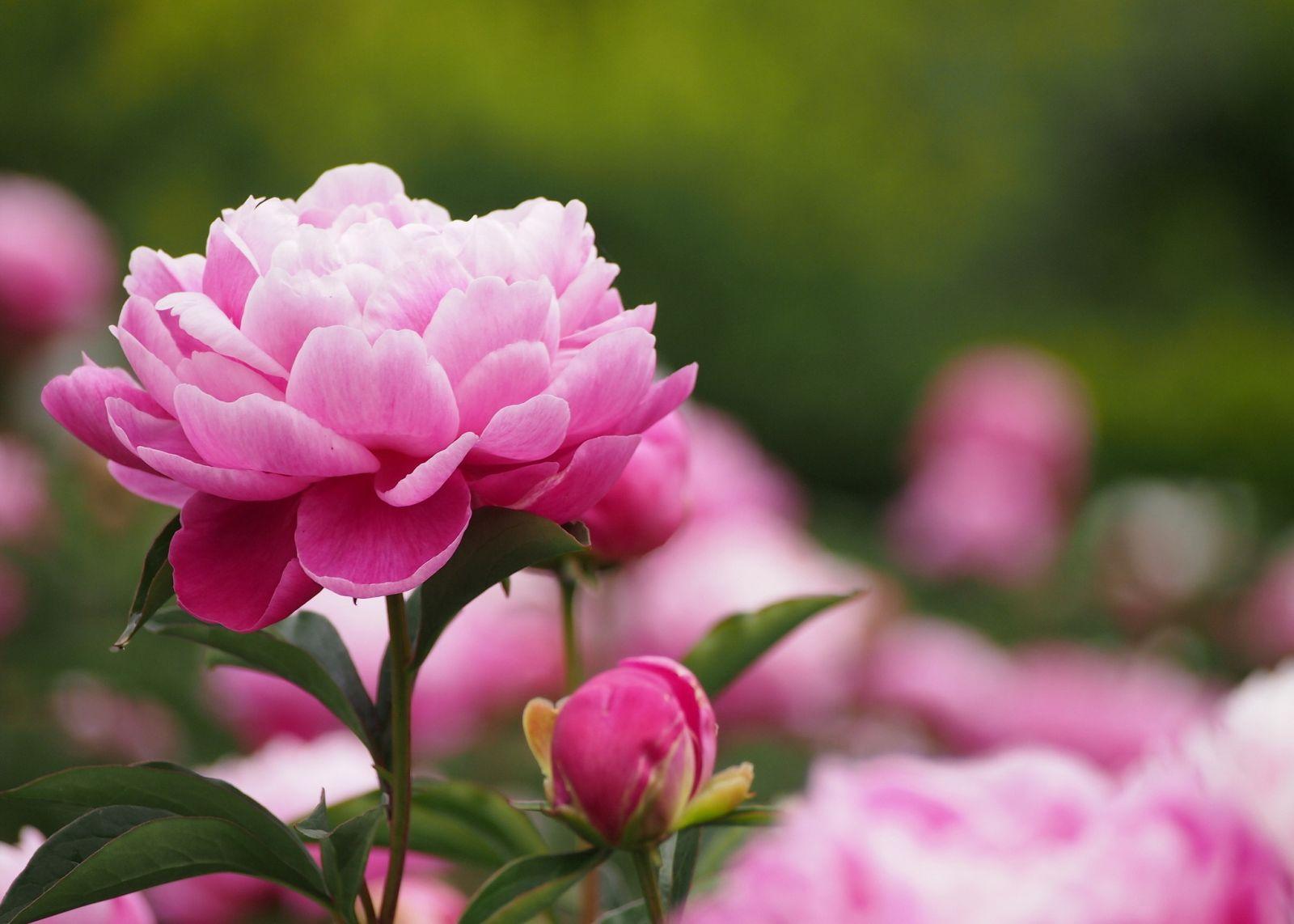 Картинки цветов пионы