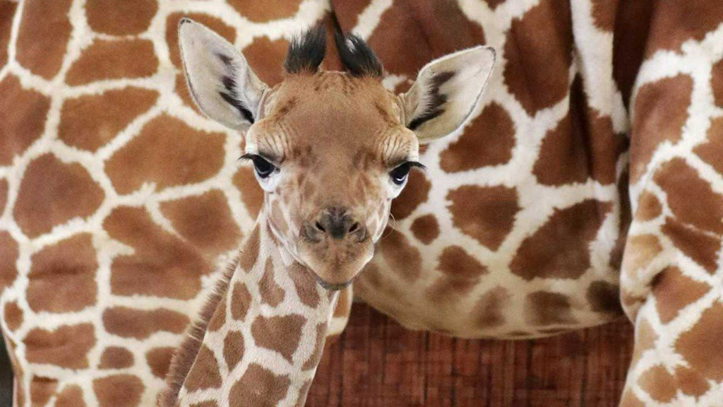 The Dallas Zoo named its newborn giraffe 'Witten' bit.ly/2JPCJMI