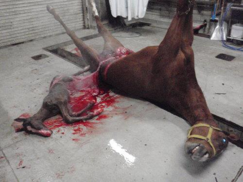 #KentuckyDerby there were no winners here. Horse slaughter is no different than any other slaughter. I believe in #AnimalRights because there are too many animal wrongs.