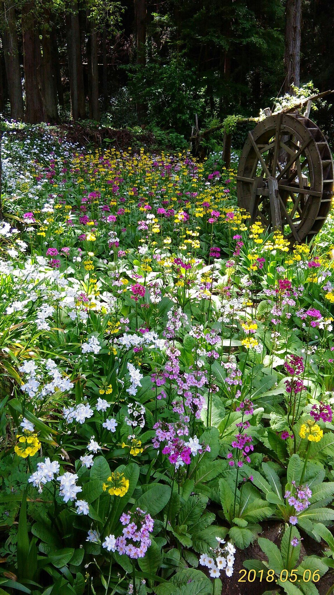 みつ花の里のクリンソウ