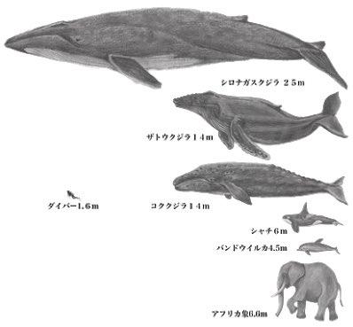 シロ ナガスクジラ 英語