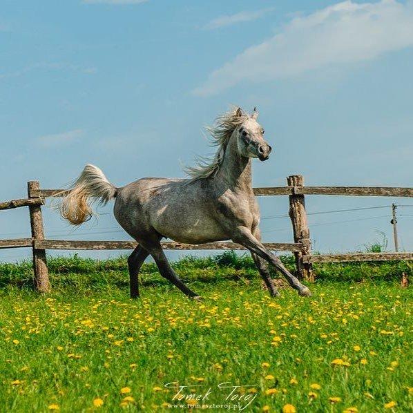 Joy of life⠀ .⠀ .⠀ .⠀ .⠀ .⠀ #Nieledew #lubelskie #hodowlakoni #koniearabskie #czystakrew #arabianhorses #horsebreeding #Poland #animal #nature #portrait #horses #konie #Martyniuk #champs #arabian_horse #horses_of_instagram #horseaddict https://t.co/4Sd27mQb4V