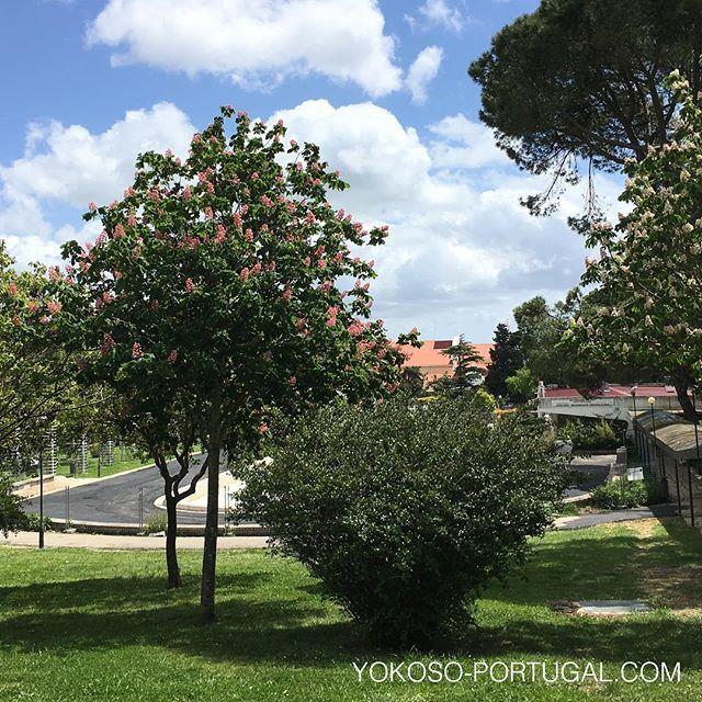test ツイッターメディア - リスボンはマロニエの花が満開です。次は5月下旬からリスボンを紫色に染めるジャカランダの季節です。リスボンでジャカランダの見れる場所の地図はようこそポルトガルのサイトまで。 https://t.co/aummysW0v1 #リスボン #ポルトガル https://t.co/qpcOBz4tAb