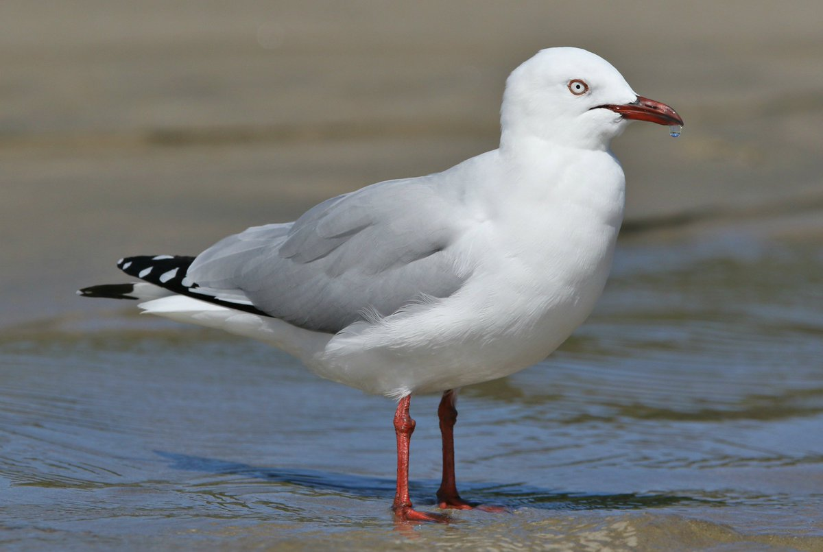 Rich Bonser On Twitter Adult Red Billed Gull At Tawharanui New