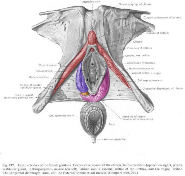 The Woman's Copulatory Organs