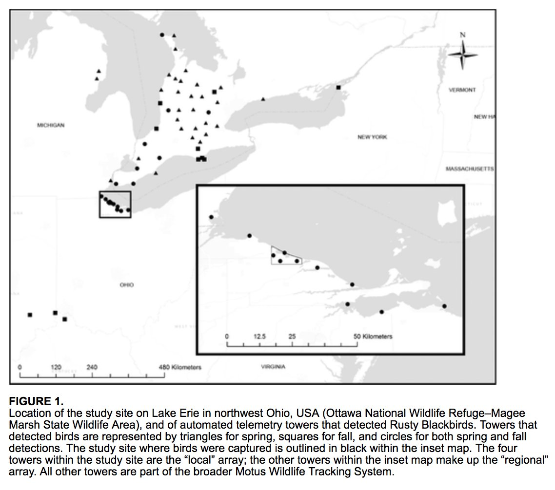 Recently published open access, #ornithology #AOSMemberPaper from the Auk! Automated telemetry reveals staging behavior in a declining migratory passerine (Rusty Blackbird) by James Wright, @LukeLPowell & @OSU_AvianEco bioone.org/doi/full/10.16…