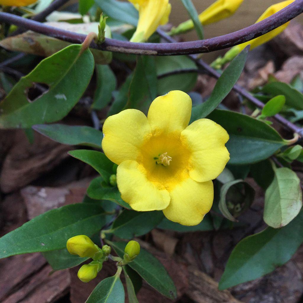 Yellow Jasmine Latest News Breaking Headlines And Top Stories