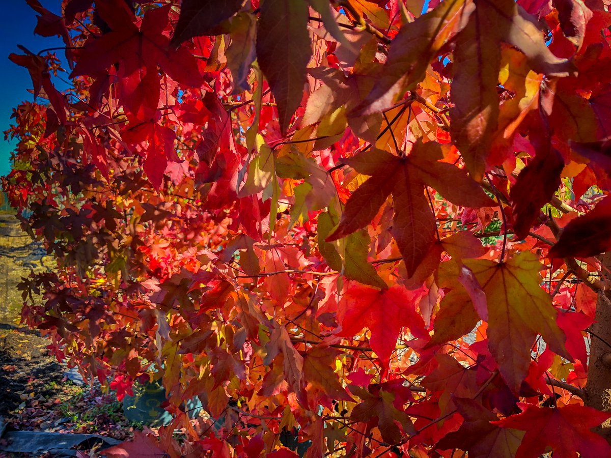 Lots Of Autumn Colour In The Nursery At Moment Like These Liquidambar Styraciflua With Sun Glowing Through Leaves Downesnursery Fall