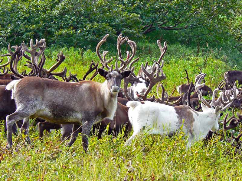 herds of domesticated reindeer flourish near a small town called esso tucked into a nature park thats part of the volcanoes of kamchatka - Pictures Of Reindeer