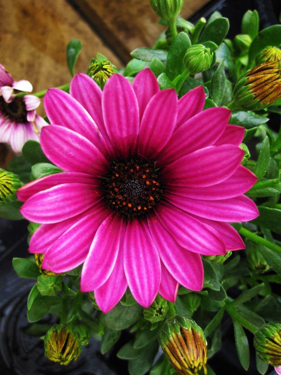 Deans Garden Centre On Twitter Osteospermum African Daisy