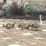 Image for the Tweet beginning: The ducklings have arrived! #everyyear