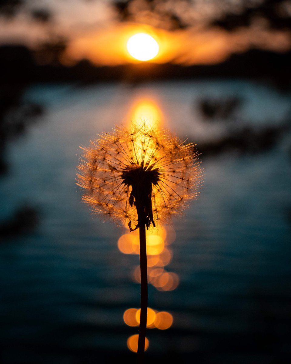 michael chilton photography on twitter a dandelion sunset over