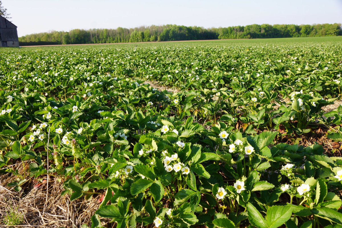 Heemans On Twitter The Berry Fields Are Stunning Right Now White