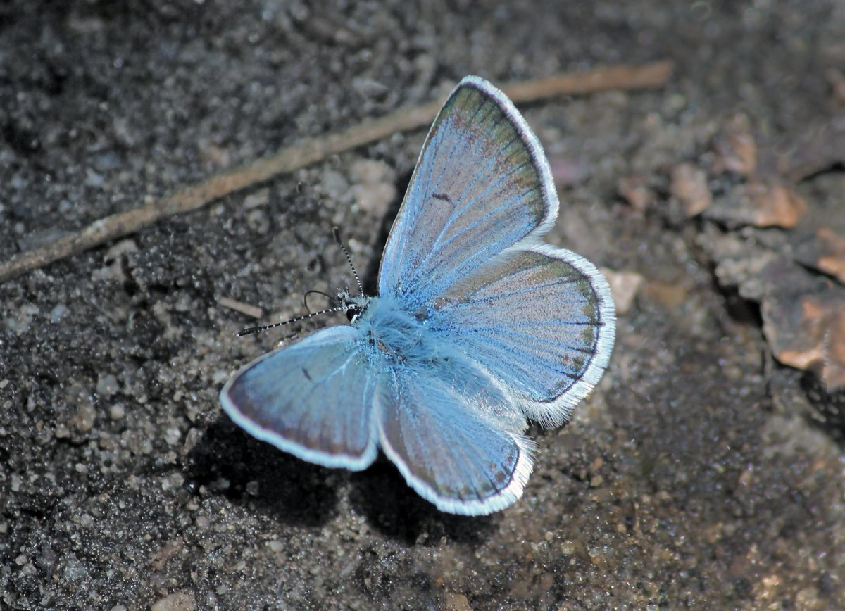 &quot;Protect Pollinators: Alpine Butterfly Research..2018&quot;  https://www. yosemiteconservancy.org/wildlife-manag ement/protect-pollinators-alpine-butterfly-research-2018 &nbsp; …  &quot;Greenish blues. Pale swallowtails...Yosemite wildlife..diversity..on..decline..Butterflies..pollinators..critical ecosystem function..also..bellwethers for environmental shifts&quot;  ©Ron Wolf@ Flickr <br>http://pic.twitter.com/2dq4edFNij