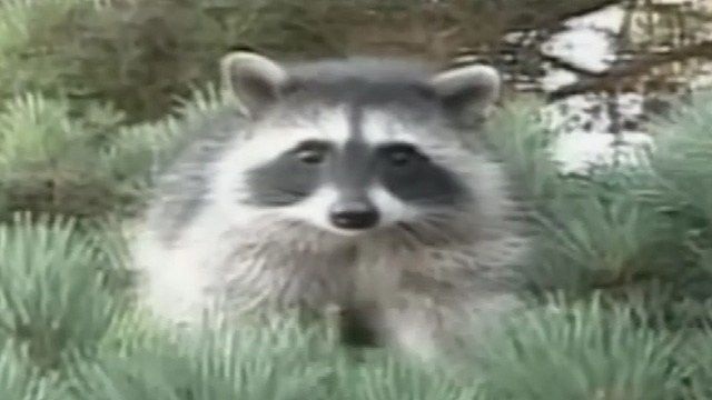Animal control officials are warning residents after a man was bitten by a rabid raccoon https://t.co/xB5MWsosO1
