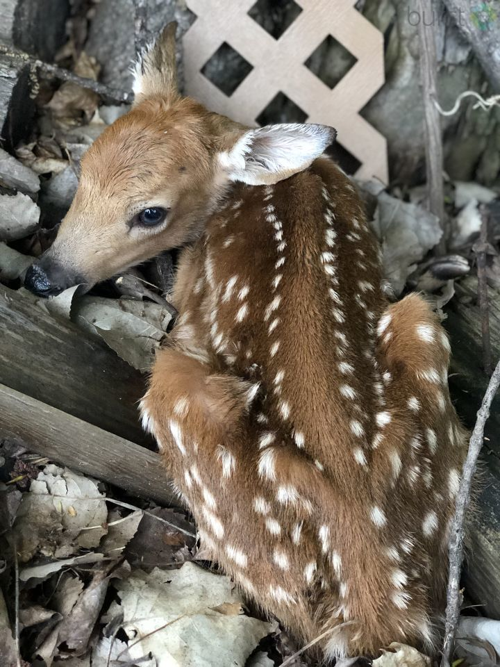 OH DEER! Look who viewer LeAnne Soldan spotted! Want your wildlife or spring flower photos featured on air and on Twitter? Click & submit here:   https://t.co/Kix8QDkAGh#SeeItSendIt#burst