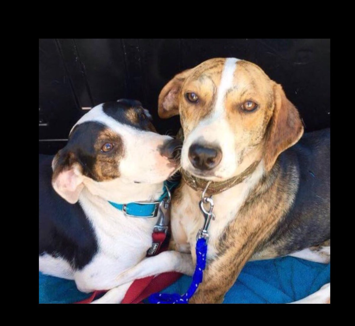 Devoted brother &amp; sister (Donald/Donatella) are so loving! They love people too, yet it's so hard to find a home together!Could you help them together and share their love with a special person or family?  #ADOPT in #U.K. #Germany #Holland  #AdoptDontBuy #dogsarefamily #dog<br>http://pic.twitter.com/HnTXJy318z