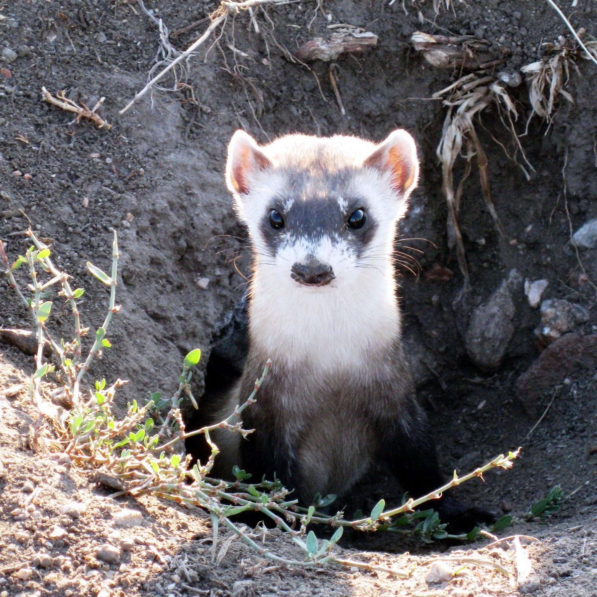 fuckclips-black-pictures-of-black-footed-ferret-sexyes-naked
