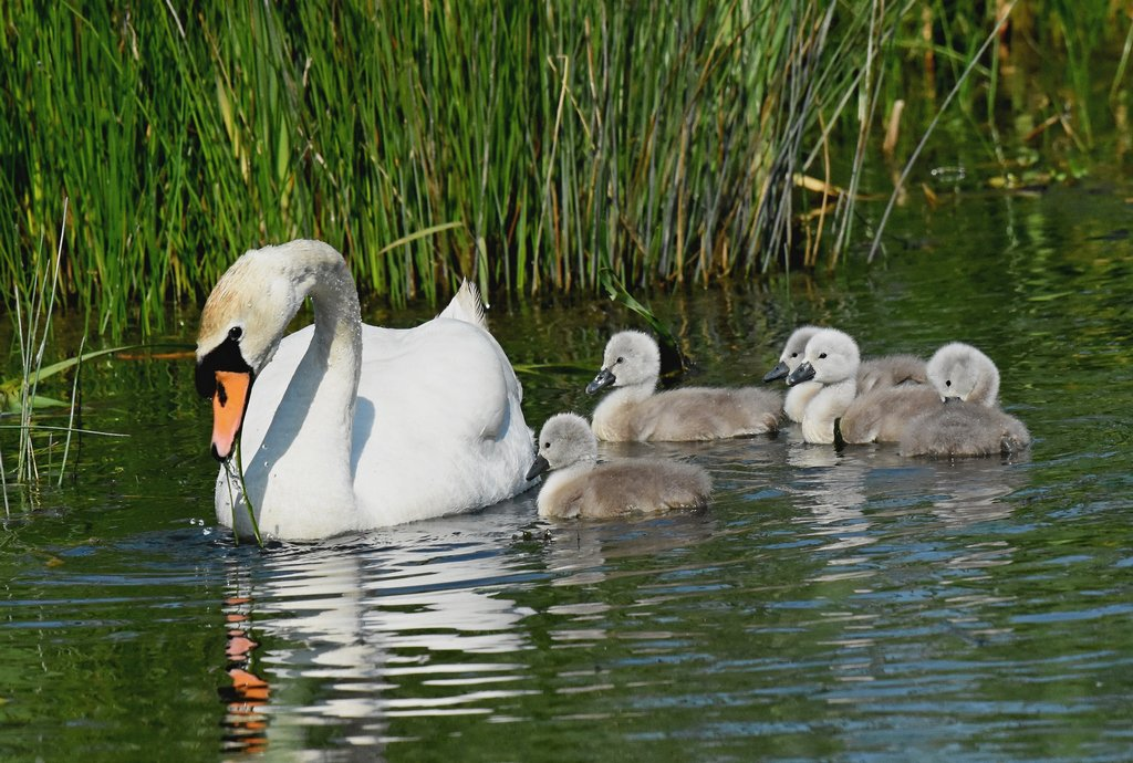 Swan and Cygnets today, Seaton Wetlands. @wildeastdevon<br>http://pic.twitter.com/AQHALAqhdg