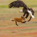 Image for the Tweet beginning: Midair battle between fox and