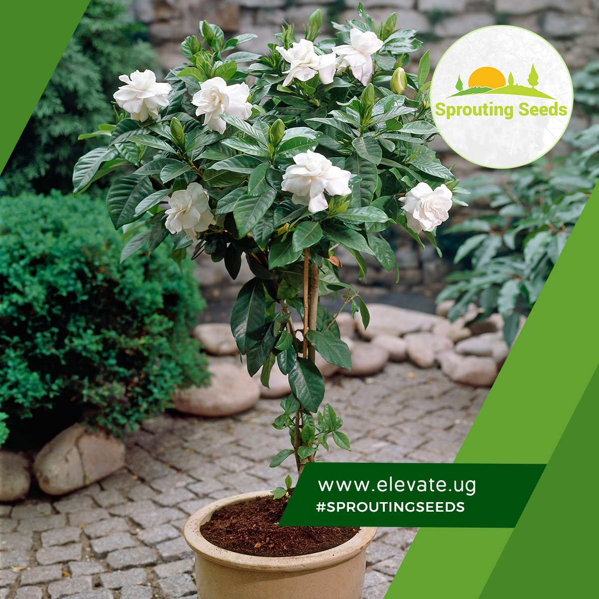 Sprouting Seeds On Twitter Gardenia Is A Beautiful Decorative
