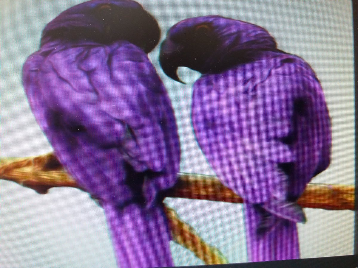 david lean on twitter the lovely purple macaw parrot caught