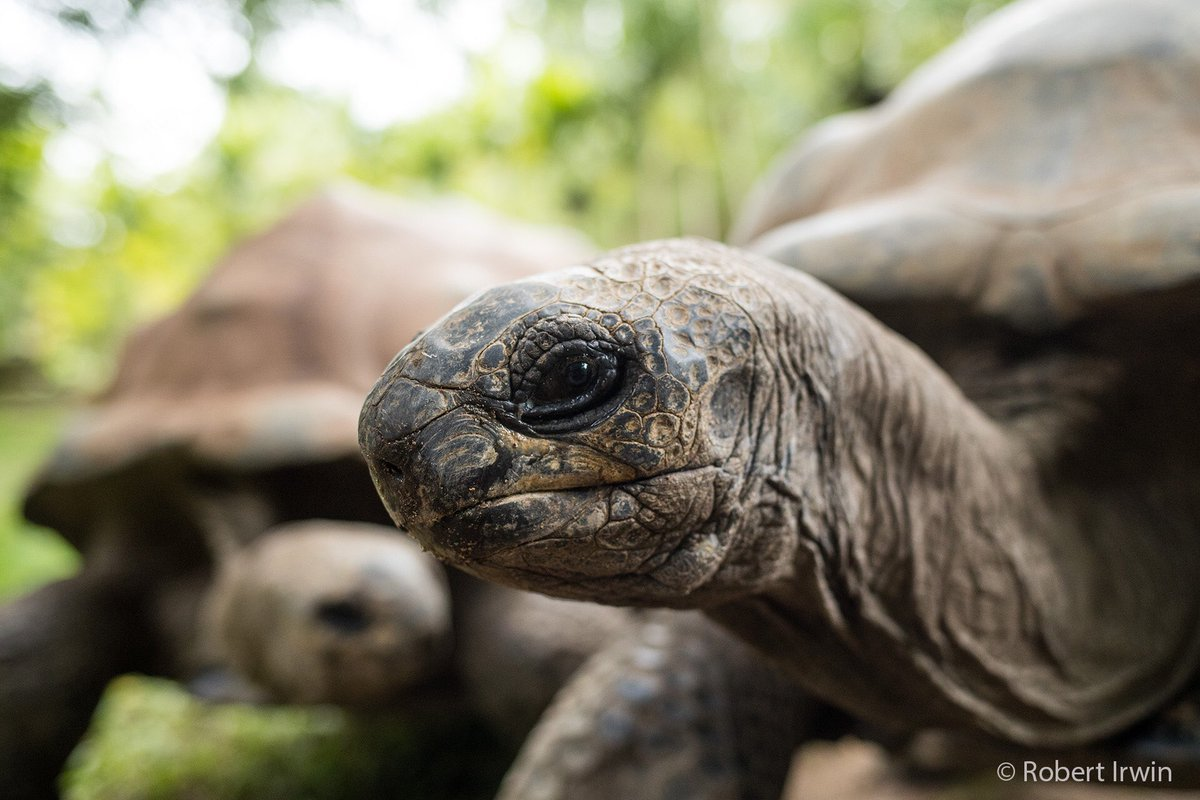 Australia Zoo On Twitter Were Giving Our Aldabra Tortoises Some