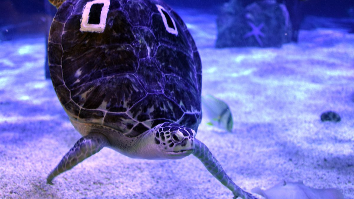 And Charlotte The Green Sea Turtle S Episode Https Goo Gl Joov5m Chester Ag1z3n Pic Twitter Mzznr6bhlk