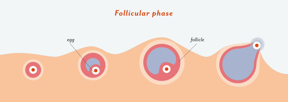 the ovulatory shift hypothesis The menstrual cycle is the regular natural change that occurs in the female reproductive system (specifically the uterus and ovaries) that makes pregnancy possible [1] [2] the cycle is required for the production of oocytes, and for the preparation of the uterus for pregnancy  [1.