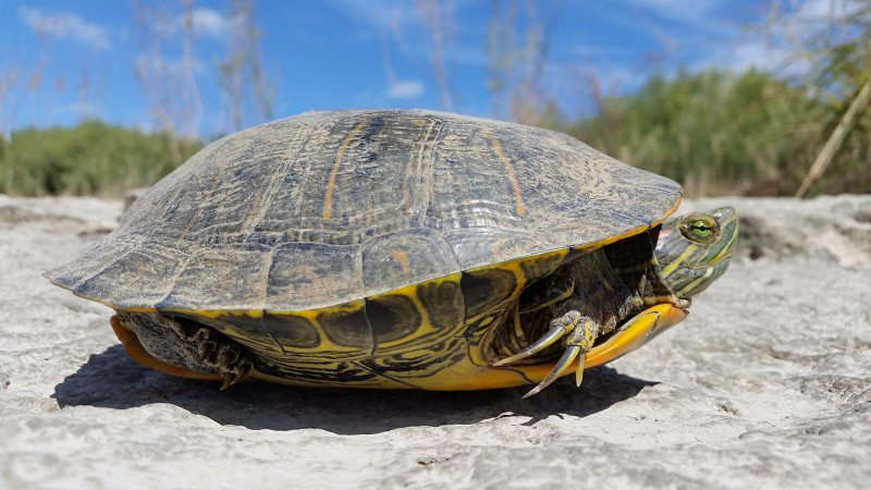 Turtles are out crossing the road. 1. Always keep your safety in mind. 2. Be careful when moving the animal (sometimes it&#39;s best to just stand guard) 3. Move it in the direction it&#39;s going. 4. Do NOT pick it up by the tail Full advice:  http:// bit.ly/2rlKUc1  &nbsp;    #WorldTurtleDay<br>http://pic.twitter.com/RZ0R9eylGk