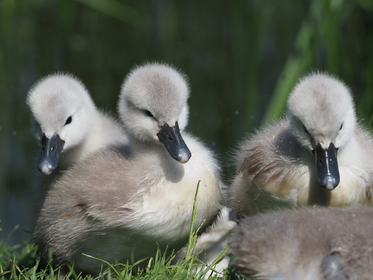 Cygnets on Seaton Wetlands @wildeastdevon @NatureUK<br>http://pic.twitter.com/1mMAU7sqnY