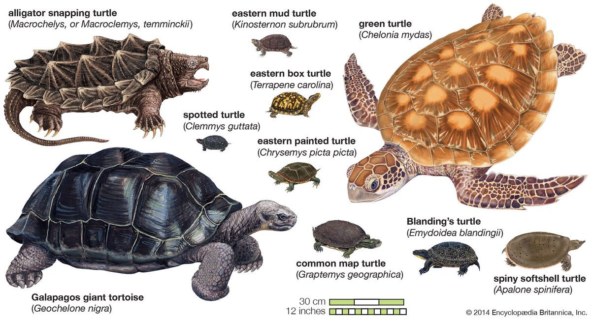 Britannica On Twitter Quot Turtles Live On Land In All