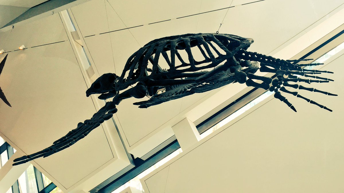 Today is #WorldTurtleDay, here is Archelon ischyodus. This giant sea turtle is 74 million years old! 🐢