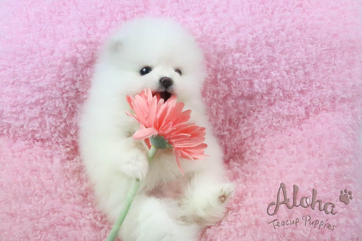 Aloha Teacup Puppies On Twitter I Love Flowers Dog Pup Puppy Pomeranian Teacupppom Pomeranianpuppy Adorable Pome Beautiful Great Teddy Pomswag Pomsta Fluffy Doglove Baby Family Love Puppys Puppies Tiny Gorgeuos Pomswag
